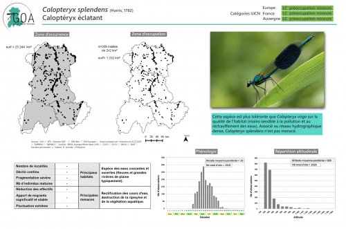 Calopteryx-splendens