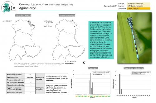 Coenagrion-ornatum