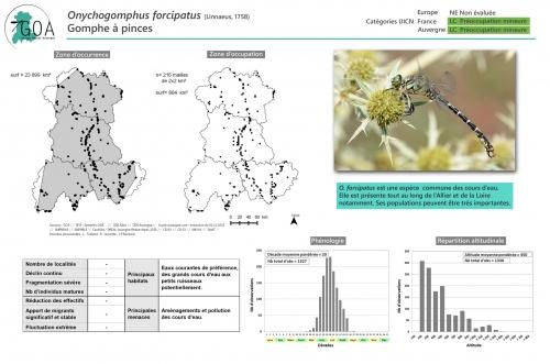 Onychogomphus-forcipatus