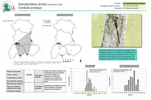 Somatochlora-arctica