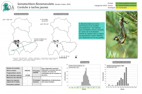 Somatochlora-flavomaculata