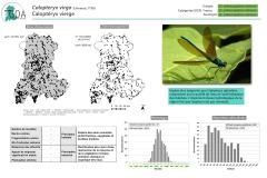 Calopteryx-virgo