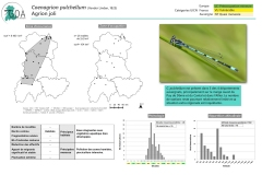 Coenagrion-pulchellum